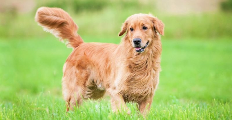 Give Your Golden Retriever An Apt Name As Per His Nature!